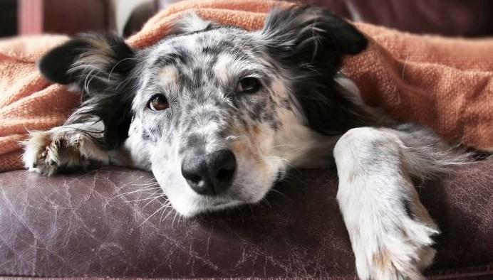Convulsiones en Perros Mayores