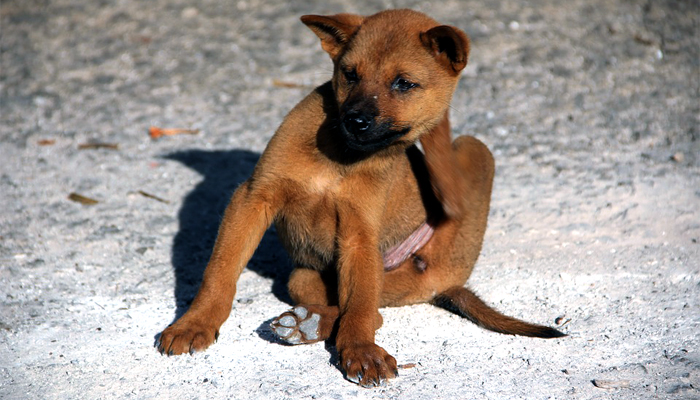 perro que se rasca por garrapatas