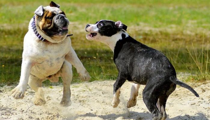 Perros bravos peleando
