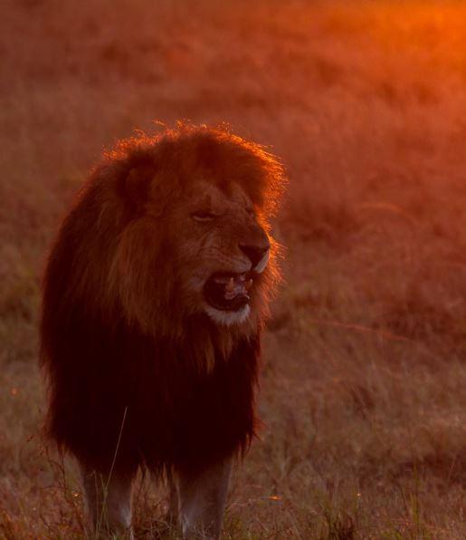 løve cut