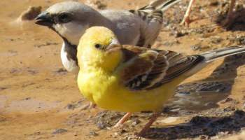 Sudan Golden Sparrow (Passer luteus) and Desert Sparrow (Passer simplex), Bir Anzarane, southern Morocco, 30 Jan. 2015 (Abdeljebbar Qninba).