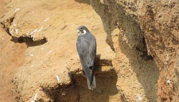 Eleonora's Falcon (Falco eleonorae), Bouknadel colony, August 2016 (Karim Rousselon)