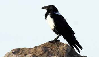 Pied Crow (Corvus albus), near Tarfaya, southern Morocco, 9 Jan. 2017 (Abdeslam Rihane)