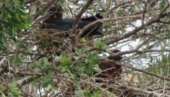 Occupied nests of Glossy Ibis / Ibis falcinelle (Plegadis falcinellus), marshes of Bou Regreg, Rabat, 31 Mar. 2017 (Pedro Fernandes).