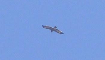 Steppe Eagle (Aquila nipalensis), Jbel Moussa, 18 May 2017 (Rachid El Khamlichi)