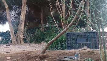 Blue-naped Mousebird / Coliou huppé (Urocolius macrourus), Tamanrasset, southern Algeria, 29 July 2018 (photo via Abdelkader Beq).
