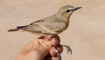 Isabelline Wheatear / Traquet isabelle (Oenanthe isabellina), Merzouga, Morocco, 5 March 2020 (Marc Illa)