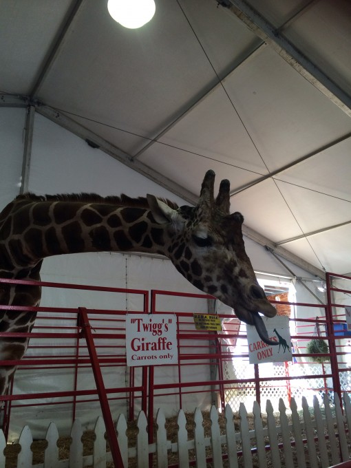 """Twigg's"" Giraffe at  the Florida State Fair in Tampa, FL 2015"