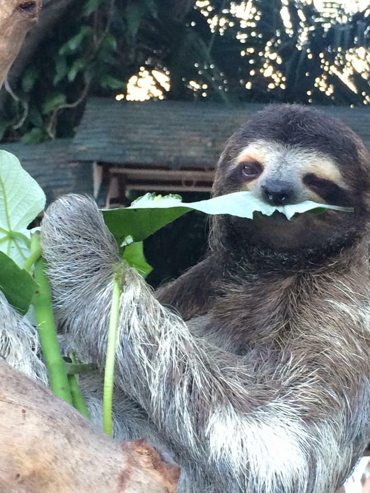 Coquito,The Asociacion Panamericana Para La Conservacion (APPC) head sloth in Gamboa, Panama