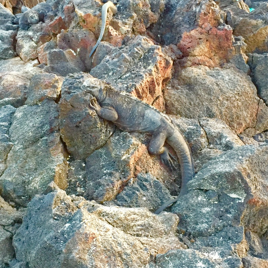Hundreds of marine iguanas can be seen nesting on the beaches in Isla Isabela in the Galapagos Islands