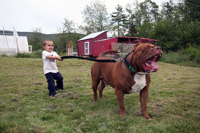 6-hulk-pitbull-largest-puppies-4