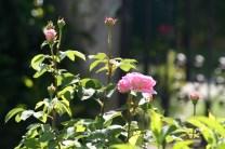 Rosarote Buschrosen