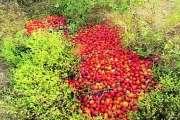 हजारो किलो टोमॅटो मातीत; दलालांच्या मध्यस्थीमुळे शेतकरी मेटाकुटीला