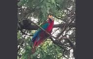 अमेरिकन पोपटाचे चक्क सांगलीत दर्शन...