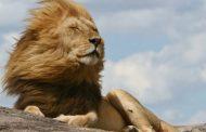 धक्कादायक! करोनाच्या तावडीत जंगलाचा राजाही सापडला; हैद्राबादमधल्या ८ सिंहांना करोनाची लागण!