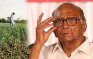 …म्हणून महाराष्ट्रातील शेतकऱ्यांना हर्बल तंबाखूच्या लागवडीसाठी परवानगी द्या; आमदाराने शरद पवारांना लिहिलं पत्र