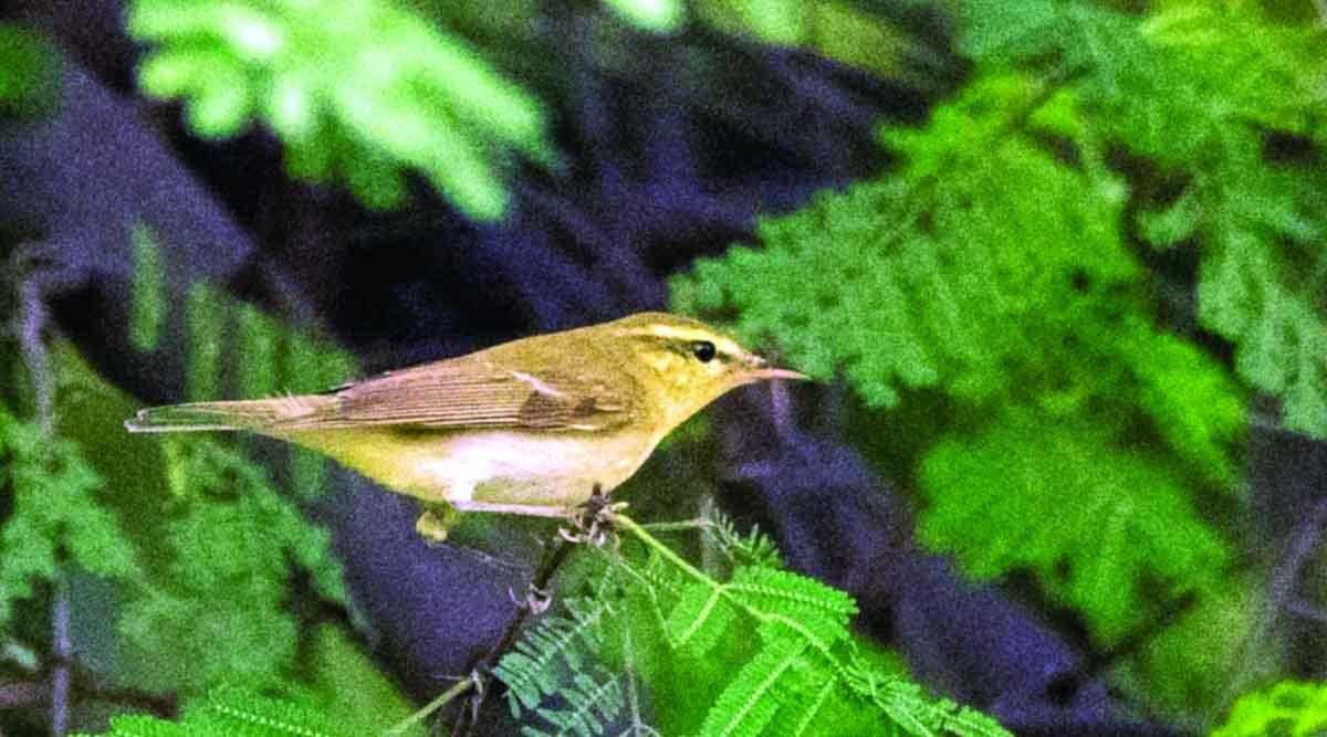 अमरावती शहरात युरोपीय पक्षी 'ग्रीन वॉर्बलर'ची प्रथमच नोंद