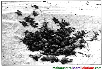 Maharashtra Board Class 9 English Kumarbharati Solutions Chapter 2.2 A True Story of Sea Turtles 3