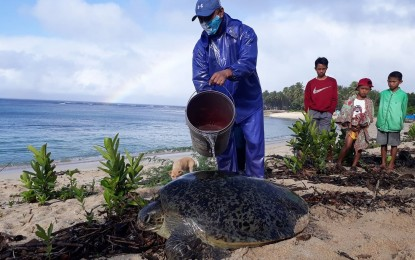 Another green sea turtle released in Pagudpud
