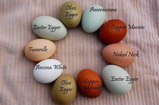 Egg Facts: The Difference Between White and Brown Eggs