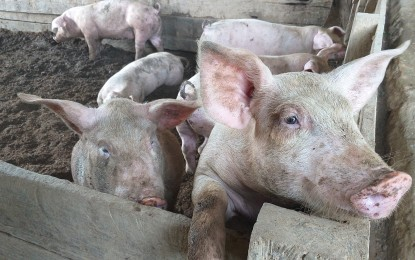 Gov't mulls 50% insurance subsidy for hog raisers