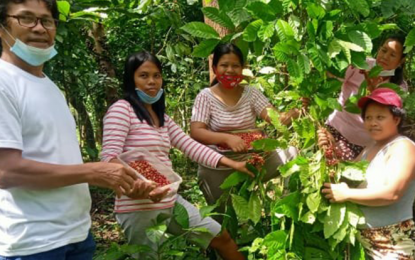 45-hectare coffee, cacao plantation eyed to aid Ormoc farmers