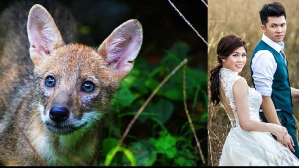 The Jackal animal and Husband and Wife
