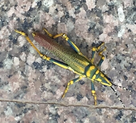 Early Signs of Monsoon - Grasshopper Spotted