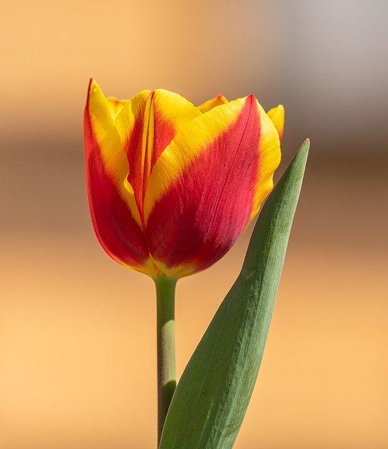 Tulip Flower Orange Red Yellow  - PetrGanaj / Pixabay