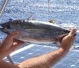 Fin tonfisk