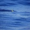 Bästa fisken på väg ombord; Dorado (eller förstås Mahimahi)