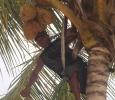 Kokosnötsskörd