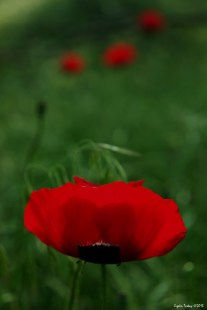 Poppies - subplant of the Papaveroideae family