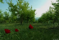 Poppies in the Apple Garden