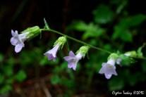 Canterbury Bells – Coventry Bells - Lady's Bells - Nettle-Leaved Bellflower - Campanula Trachelium L. Subsp. Athoa – Isırgan Yapraklı Çan Çiçeği - Kovan Çanı - Çıngırak Otu