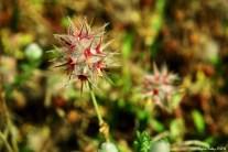 Trifolium stellatum var xanthinum - Star Clover - Yıldız Yonca - Yıldız Üçgül