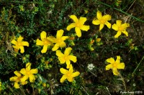 Hypericum cerastoides / Hypericum rhodoppeum / Campylopus cerastoides - St John's Wort - Boynuzumsu koyunkıran - Boynuzumsu yaraotu - Boynuzumsu kızılot