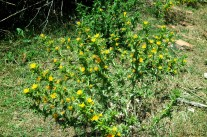 Carthamus tinctorius L. - Safflower - Dikenli Aspir Otu - Kır Safranı - Papağan Yemi - Boyacı Aspiri - Haspir