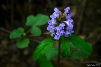 Prunella vulgaris - Self heal - Heart of the Earth - Blue Curls - Sicklewort - Heal-all - Küçük Karakafes- Yaban Eriği - Yara Otu.