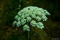 Ammi visnaga - Khella flower - toothpickweed -Diş otu - Diş Hilali