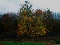 Maple tree - Fall / Çınar ağacı - Sonbahar