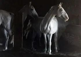 حصانُ الشِّعر مسروق