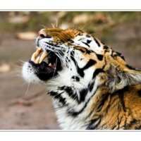'Harimau Berantai' - silat seru