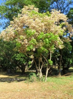 Salimbobog tree in full bloom!! The white flowers eventually turn yellow and the tree loses most of its leaves.