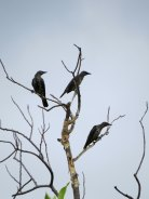 Young Asian Glossy Starlings