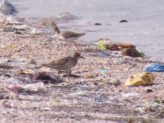 Pacific Golden Plover (foreground) and Common Redshank (background)