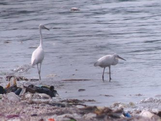 Chinese Egret (L) and Little Egret (R)