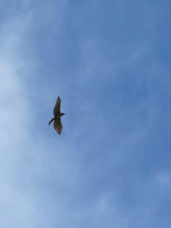 Philippine Hawk-Eagle