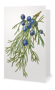 Juniper: Juniperus viginiana