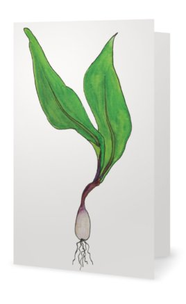 Ramp: Allium Tricoccum